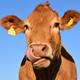 Mucche felici, latte più buono